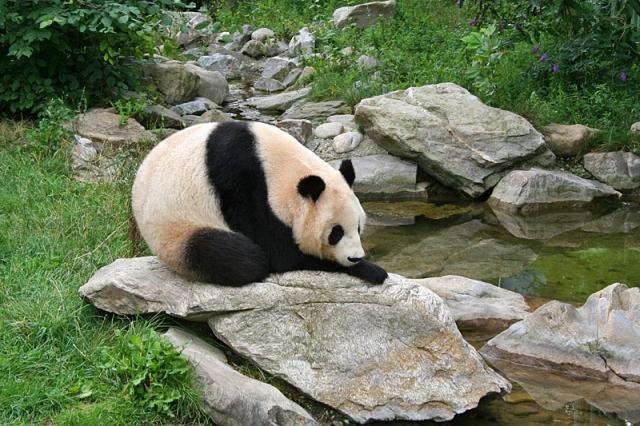 Где увидеть панду: зоопарк Шёнбрунн, Вена, Австрия