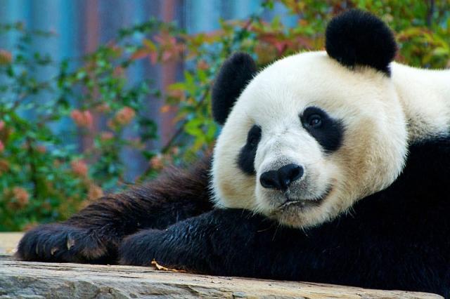 Где увидеть панду: зоопарк Аделаида, Австралия