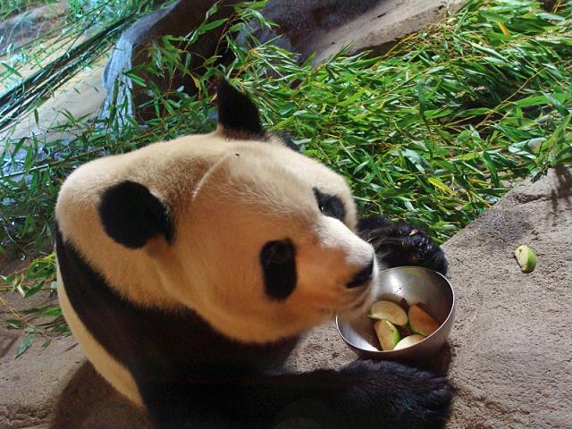 Где увидеть панду: зоопарк в Мадриде, Испания